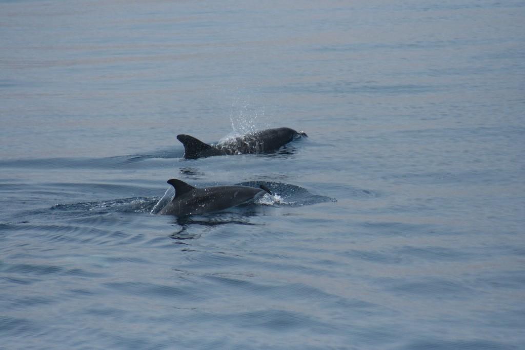 delfini na rabu